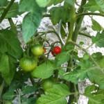 Süße Früchte: Das schöne Wetter verspricht eine reiche Ernte